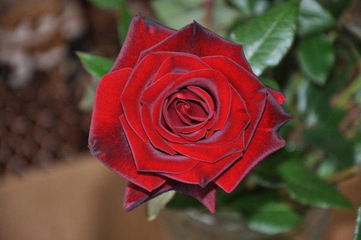 красная роза - Владимир