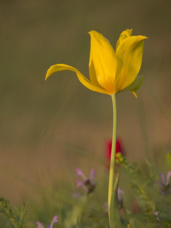 Желтый тюльпан - Ксения Репина