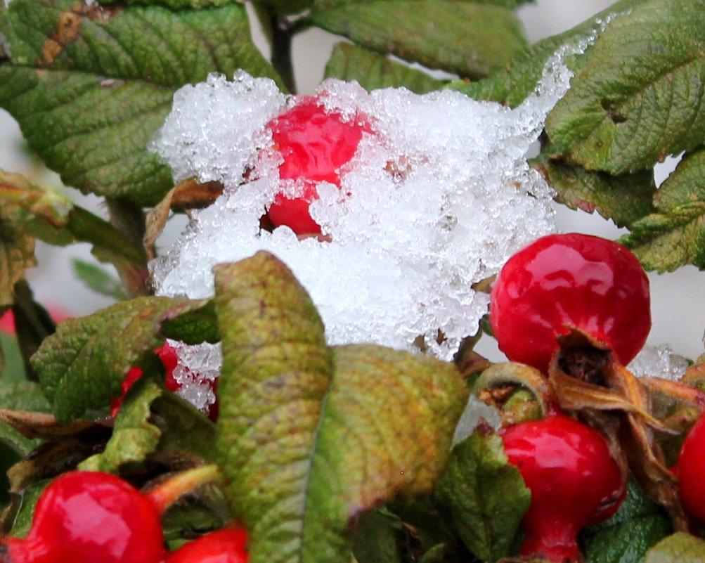 снег на шиповнике - Наталья Золотых-Сибирская