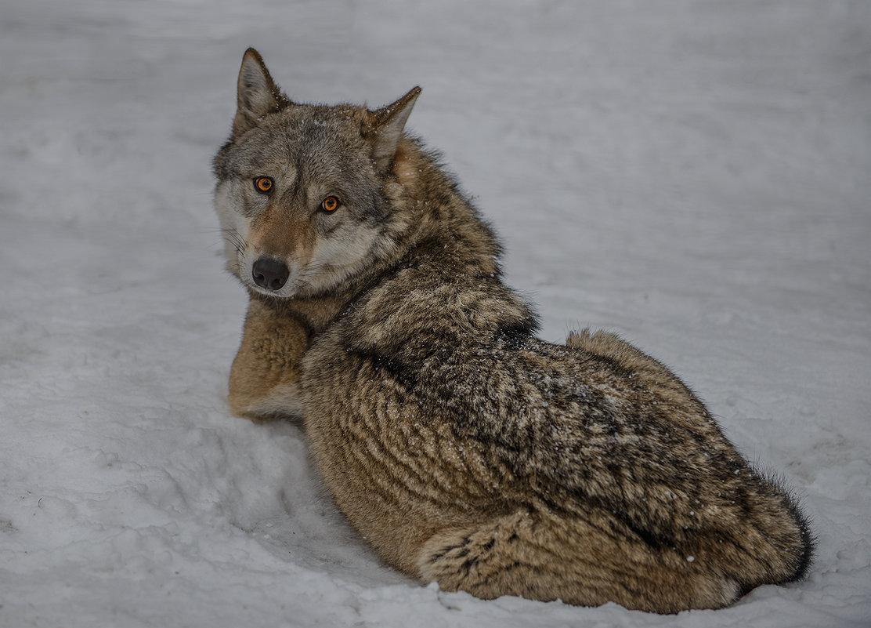 Волчица... - Татьяна Полянская