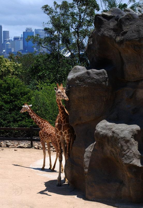 В Сиднеевском зоопарке. - Лара Гамильтон