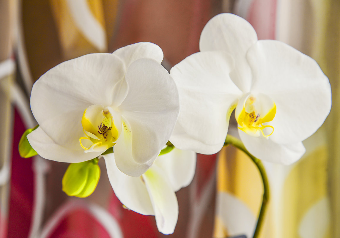 Белокурая королевская орхидея. - юрий Амосов