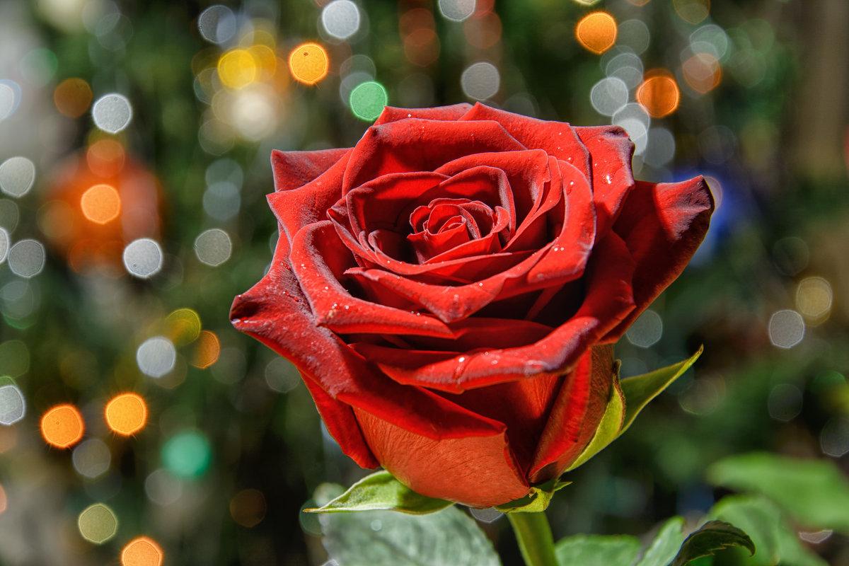 про розу... - Дмитрий Брошко