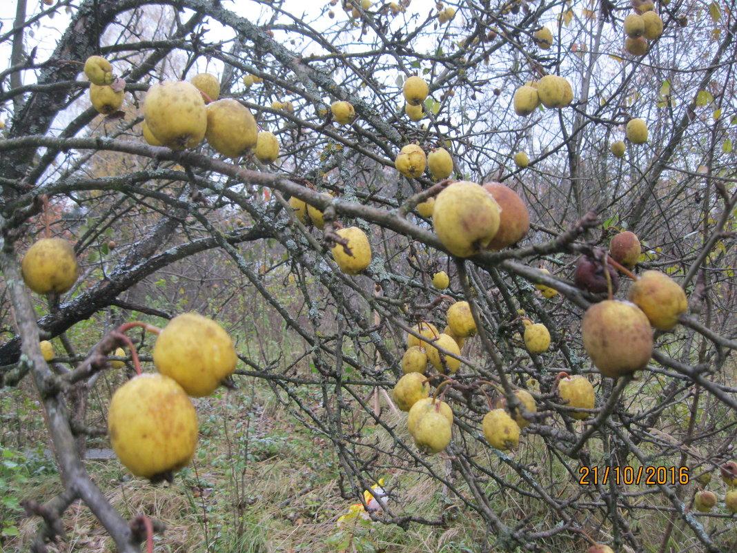 Яблоки - Maikl Smit