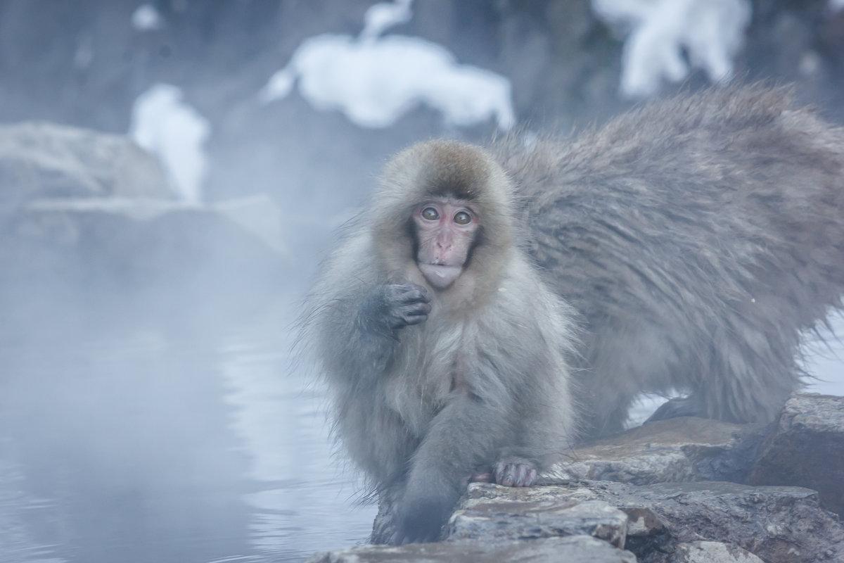 Снежные обезьнки - Екатерина Валенчиц