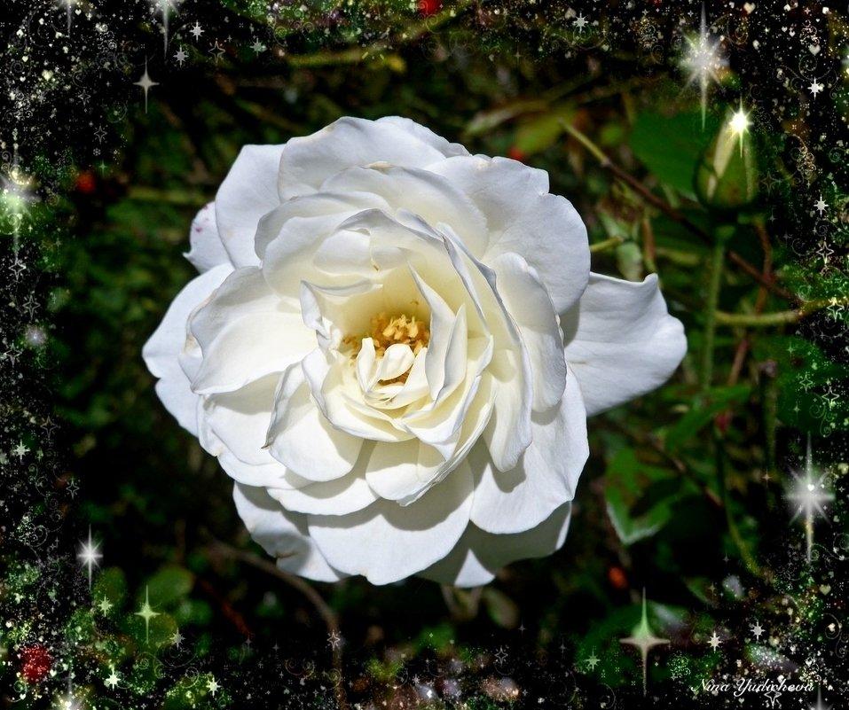 Белая роза - Nina Yudicheva