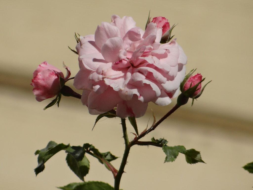 Розы* - Алексей Цветков