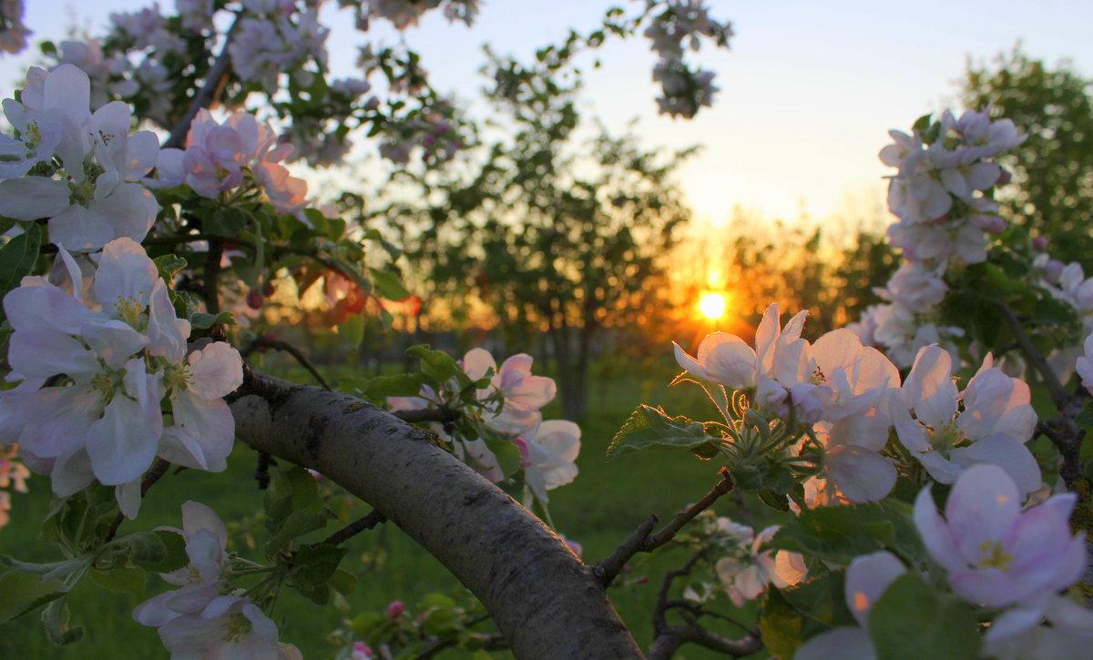 Яблонька - оксана косатенко