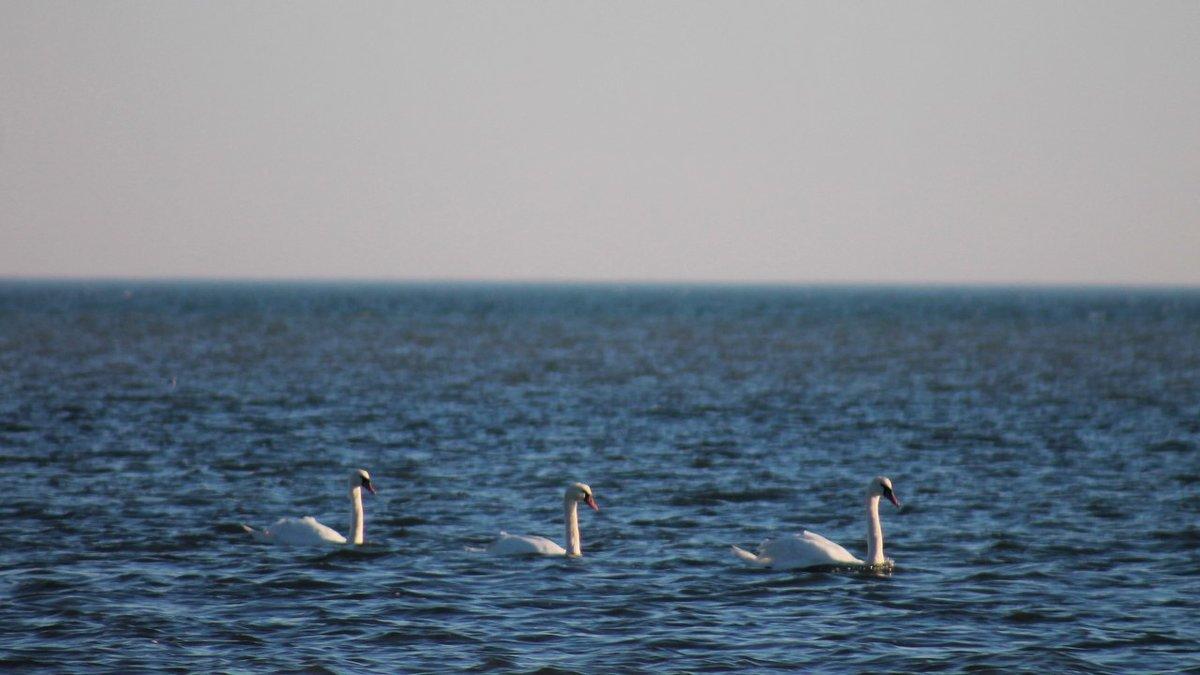 Лебеди на море - Александр Довгий