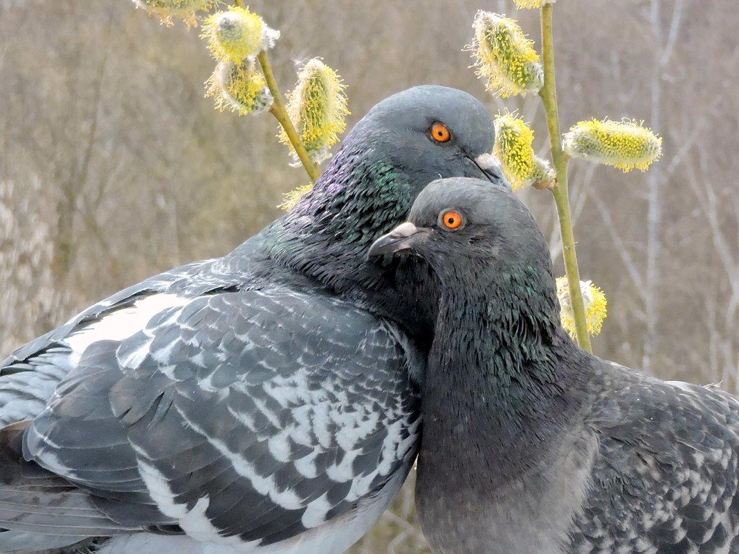 Весна , любовь и голуби. - Hаталья Беклова
