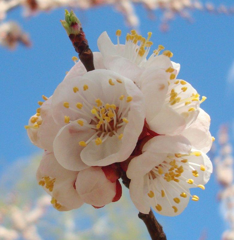 Абрикосовая весна - Стас Борискин (Stanisbor)
