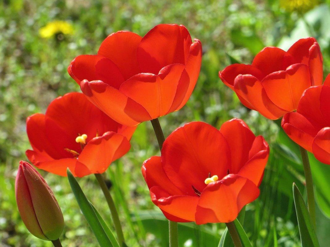 Это море тюльпанов безбрежное, этот яркой травы изумруд... - Татьяна Смоляниченко