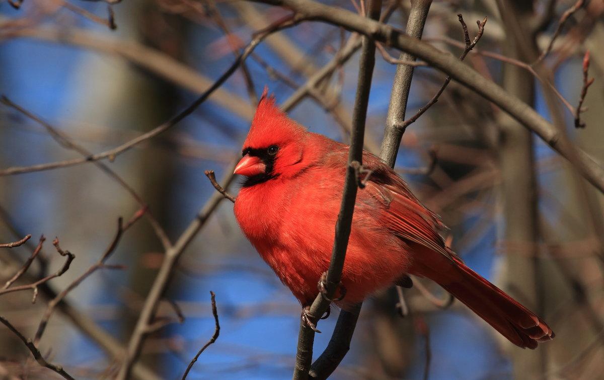 кардинал мальчик - Naum