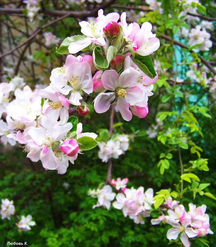 Яблони цветут....Весна 2014 была теплее.... - Любовь К.