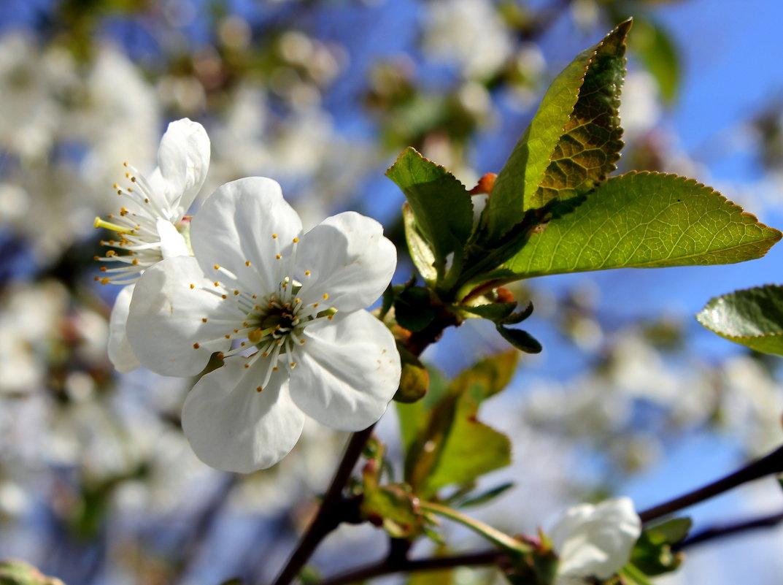 Что может быть прекрасней, чем цветенье вишни под окном? - Валентина ツ ღ✿ღ