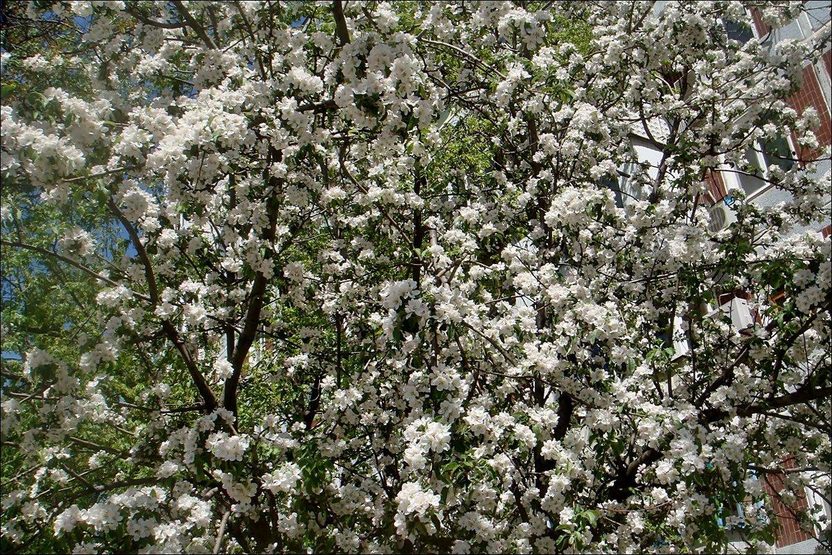 Бушует яблоневый цвет - Нина Корешкова