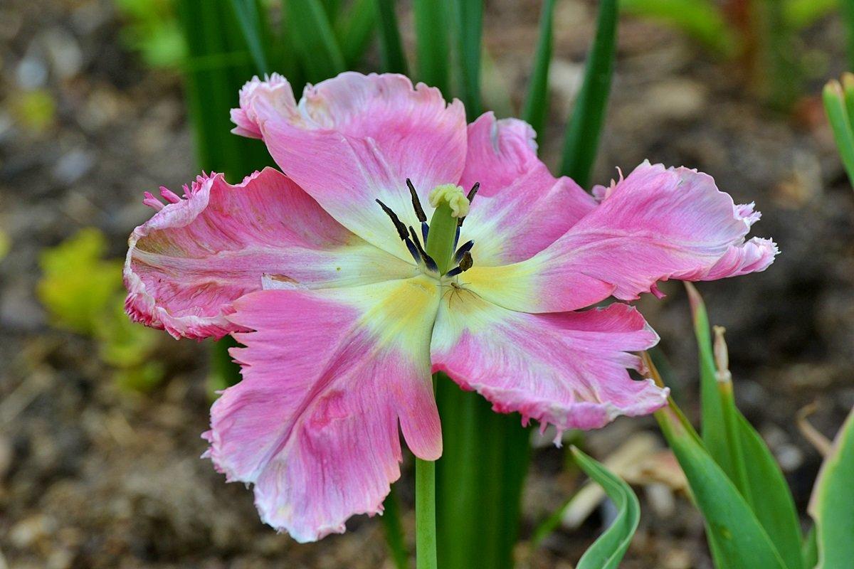 Паучок на тюльпане - Valentina M.