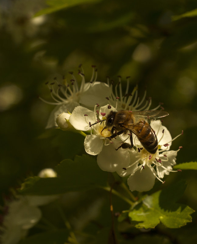 Пчелка - Владимир Бегляров