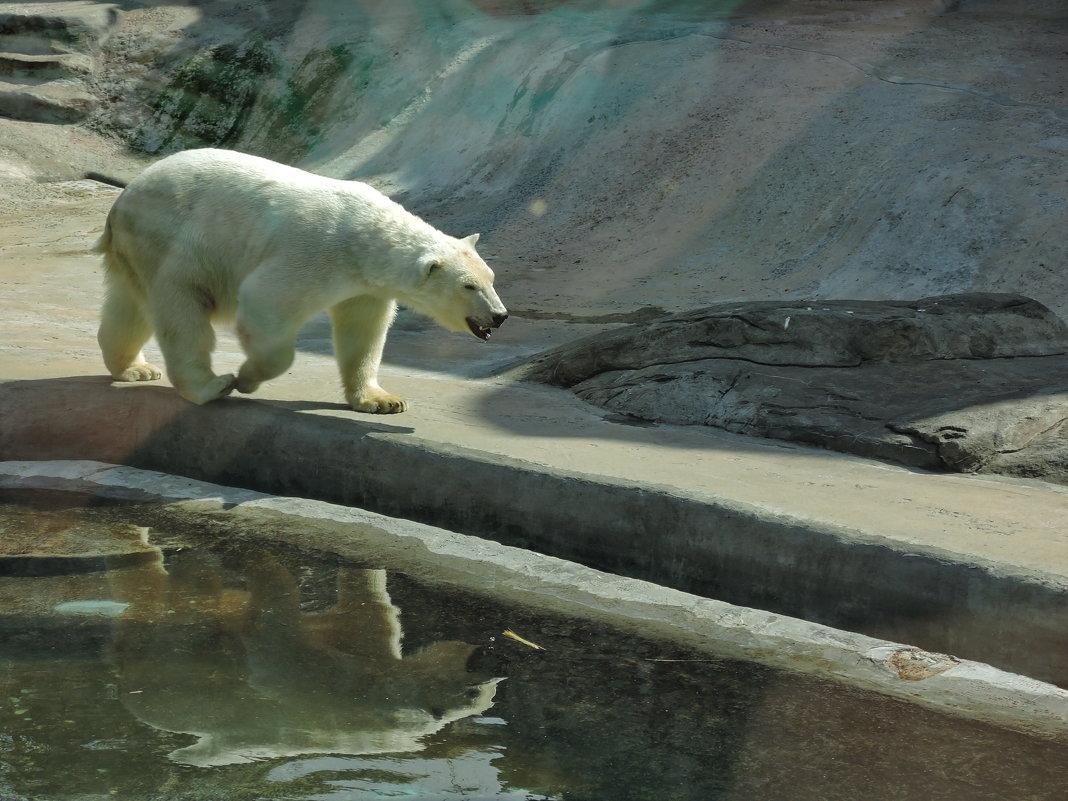 Белый медведь - Андрей Козов