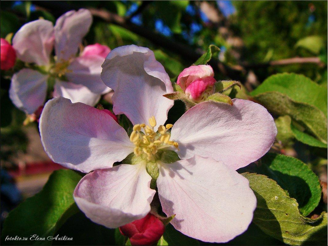 Яблоки будут! - °•●Елена●•° Аникина♀