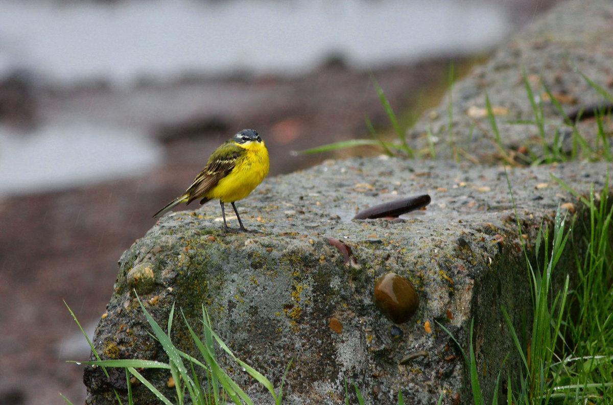 Желтая трясогузка в дождливую погоду.. - Ната Волга