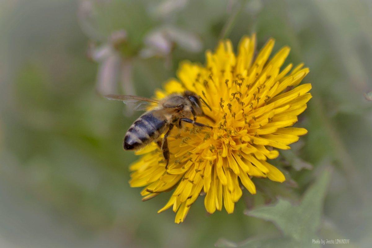Одуванчик и пчела - Евгений Лимонтов