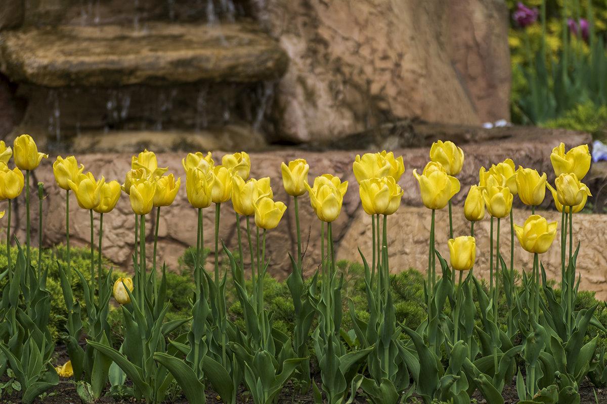 Желтые тюльпаны - Игорь Сикорский