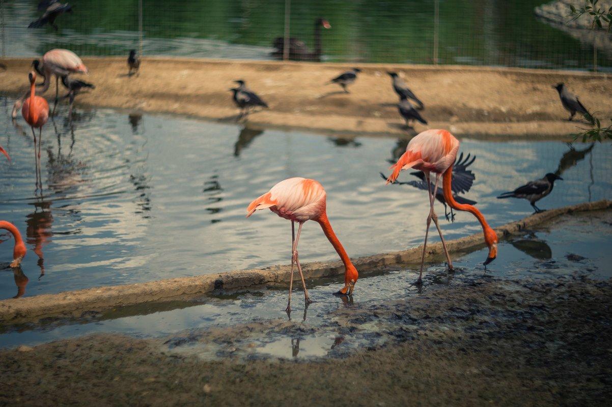 Фламинго - Ruslan --