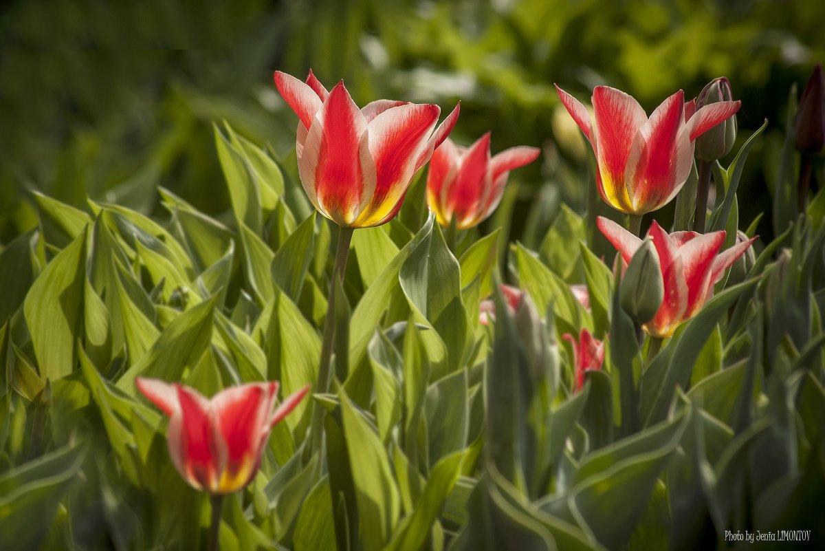 Парковые тюльпаны - Евгений Лимонтов