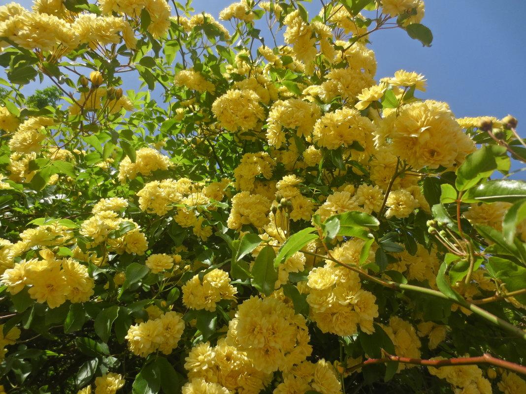 весеннее цветение Крыма - Елена