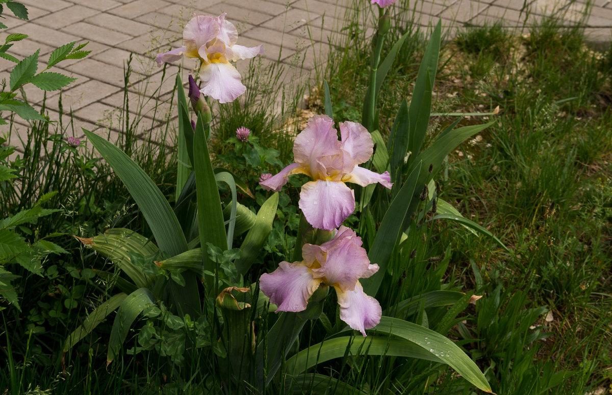 Городские цветы - София