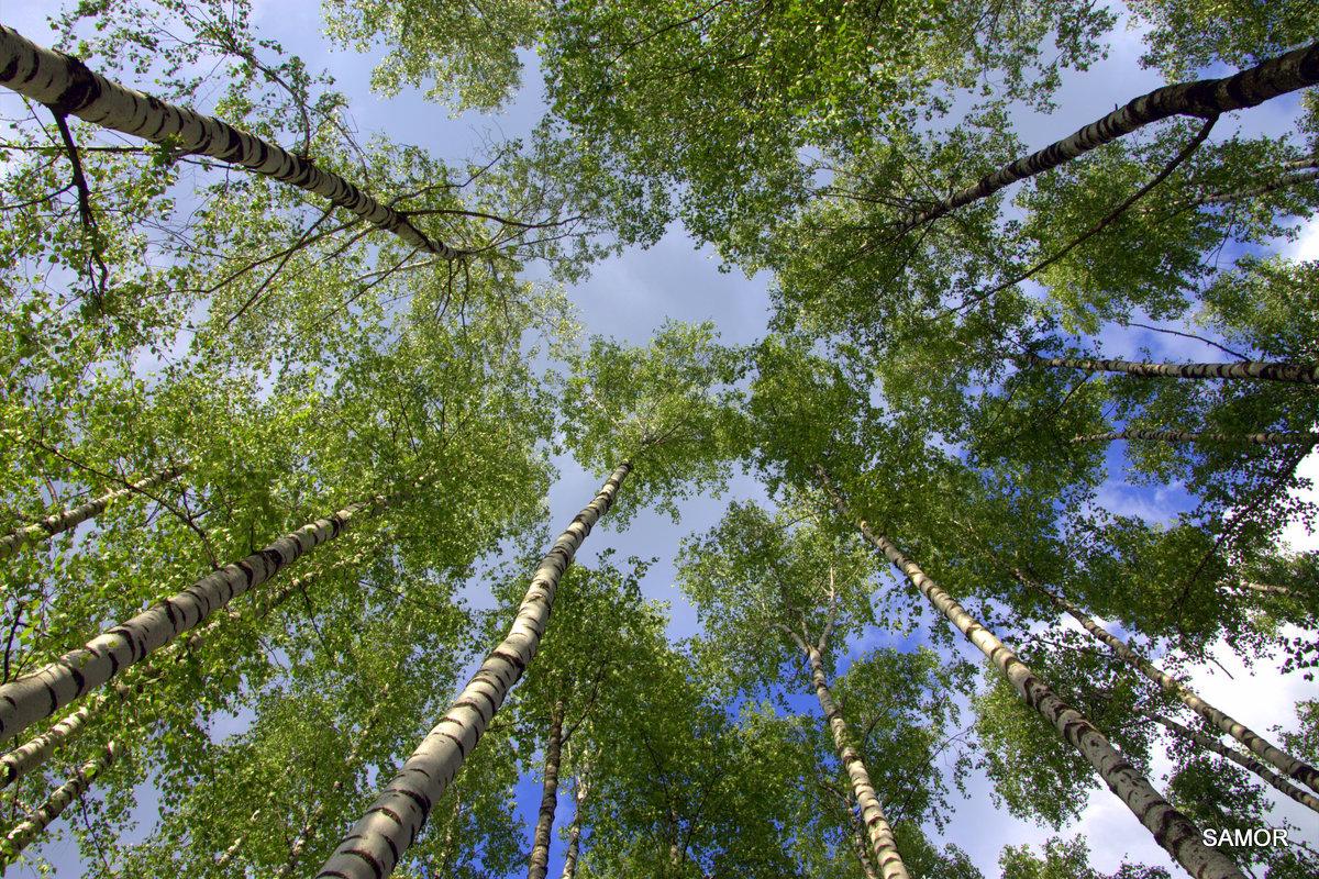 Берёзовое небо - Валерий Самородов