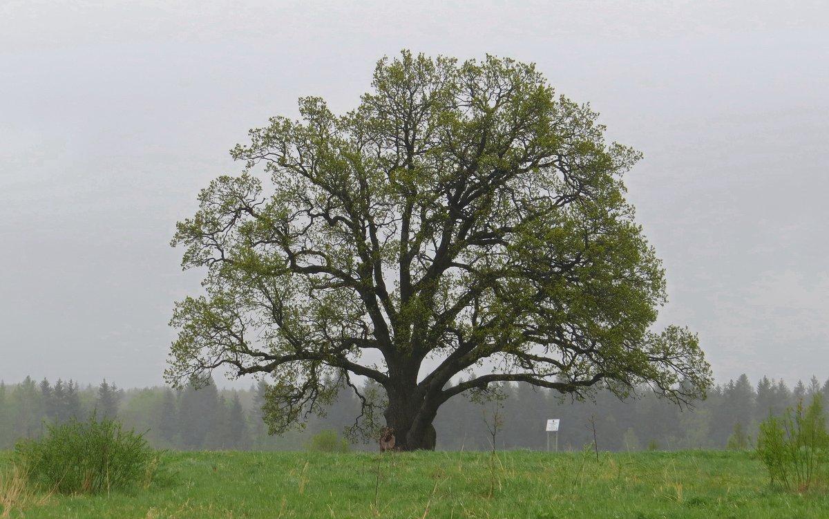 Старый дуб - Вера Щукина