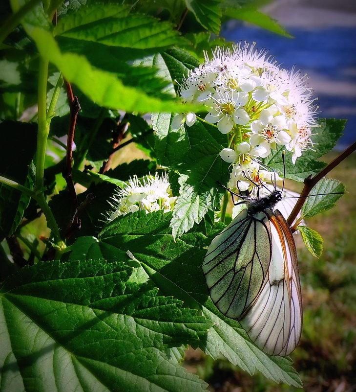 Спирея и бабочка . - Мила Бовкун