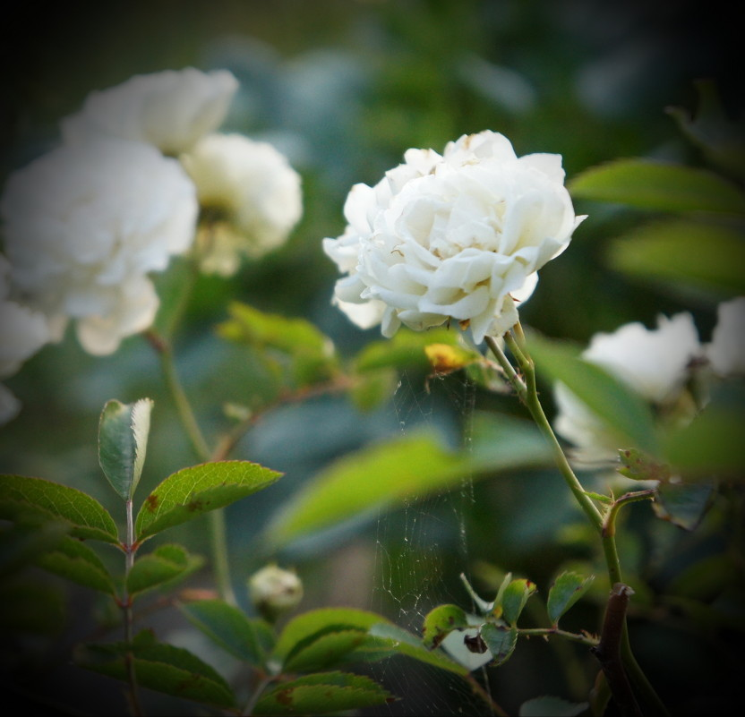 белые розы... - Татьяна Б.