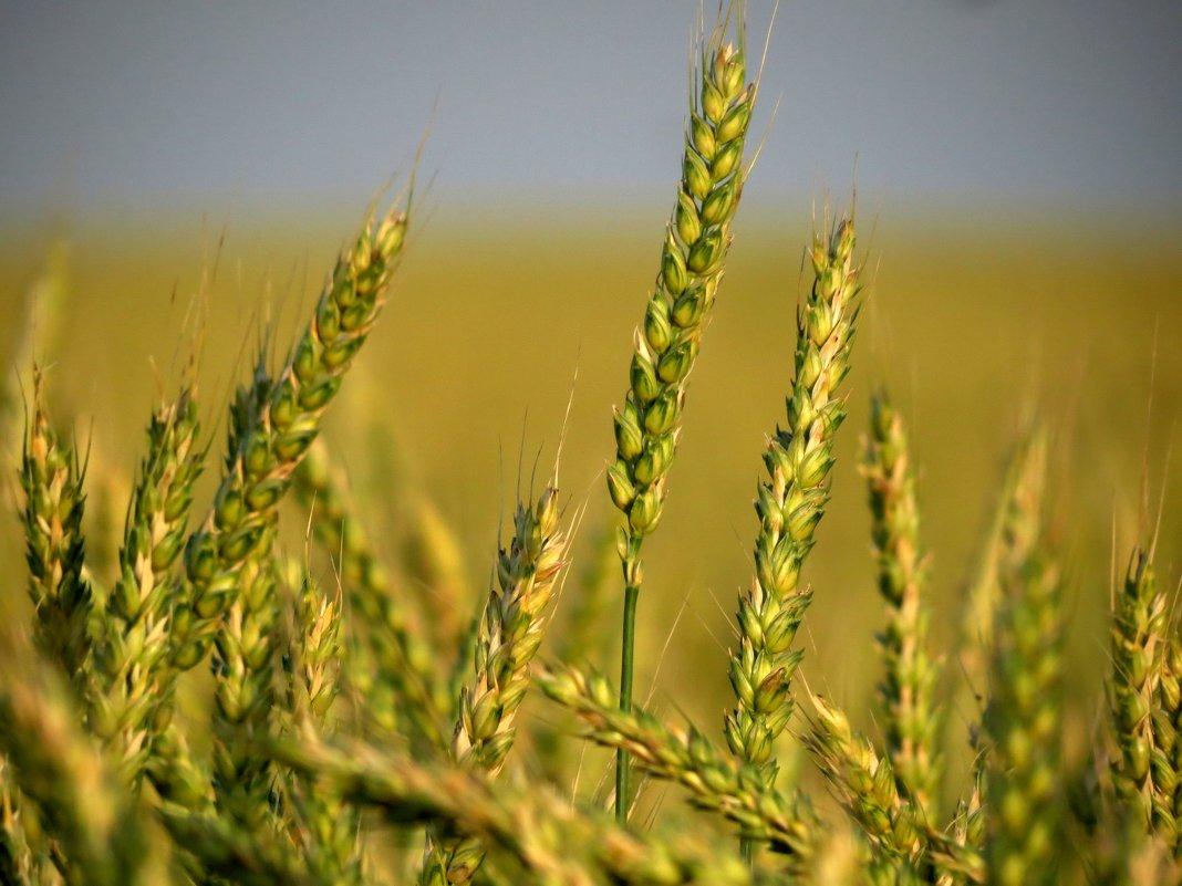 Спеет жито - Марина
