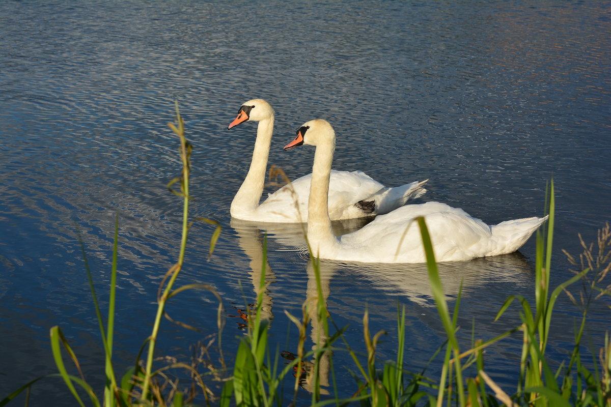 Пара белых лебедей - Игорь