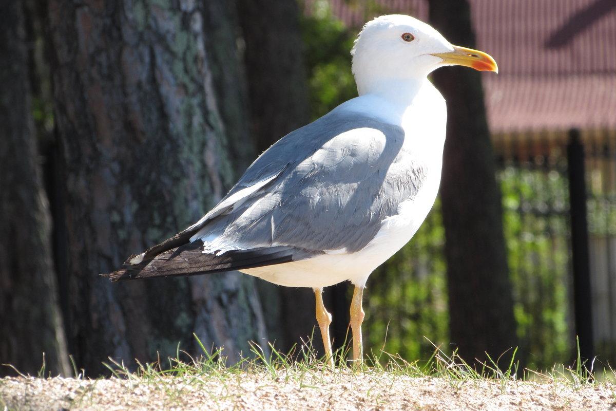 чайка - Валерий A.