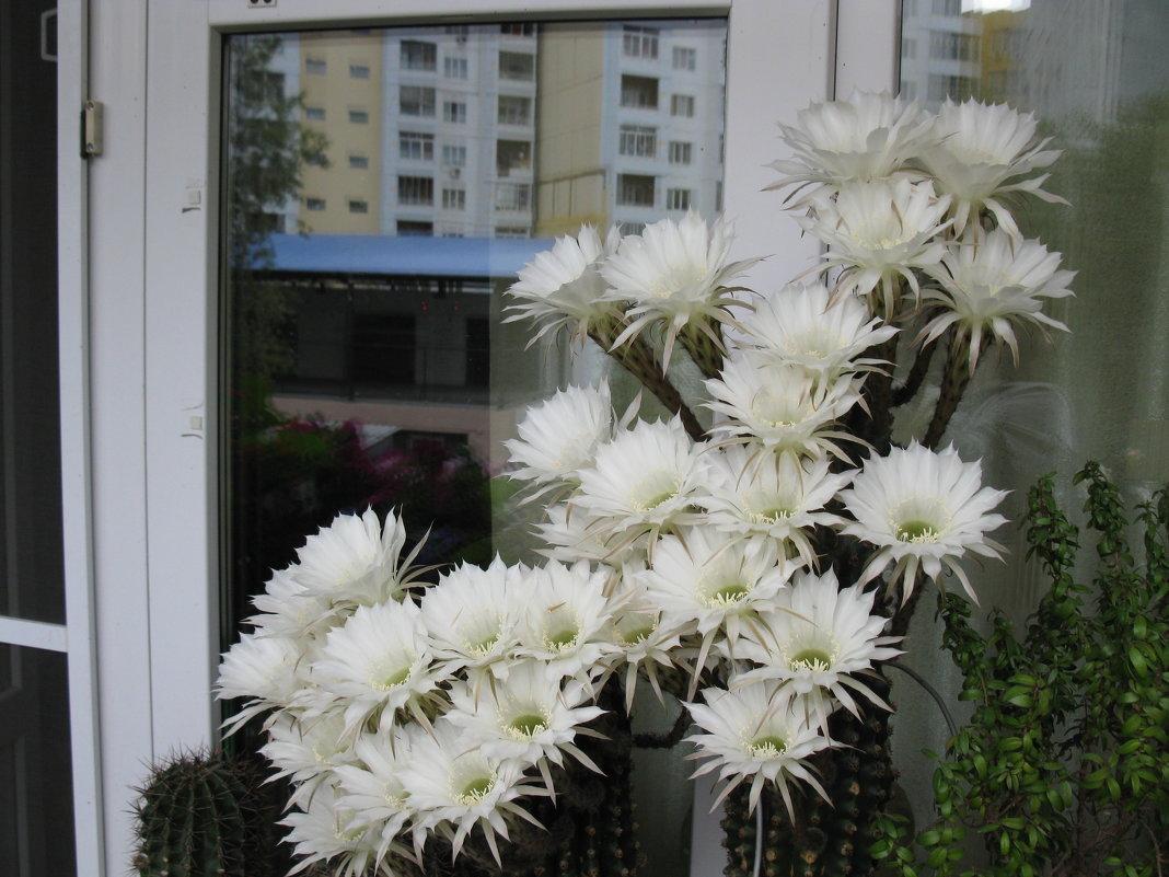 кактус - Ольга