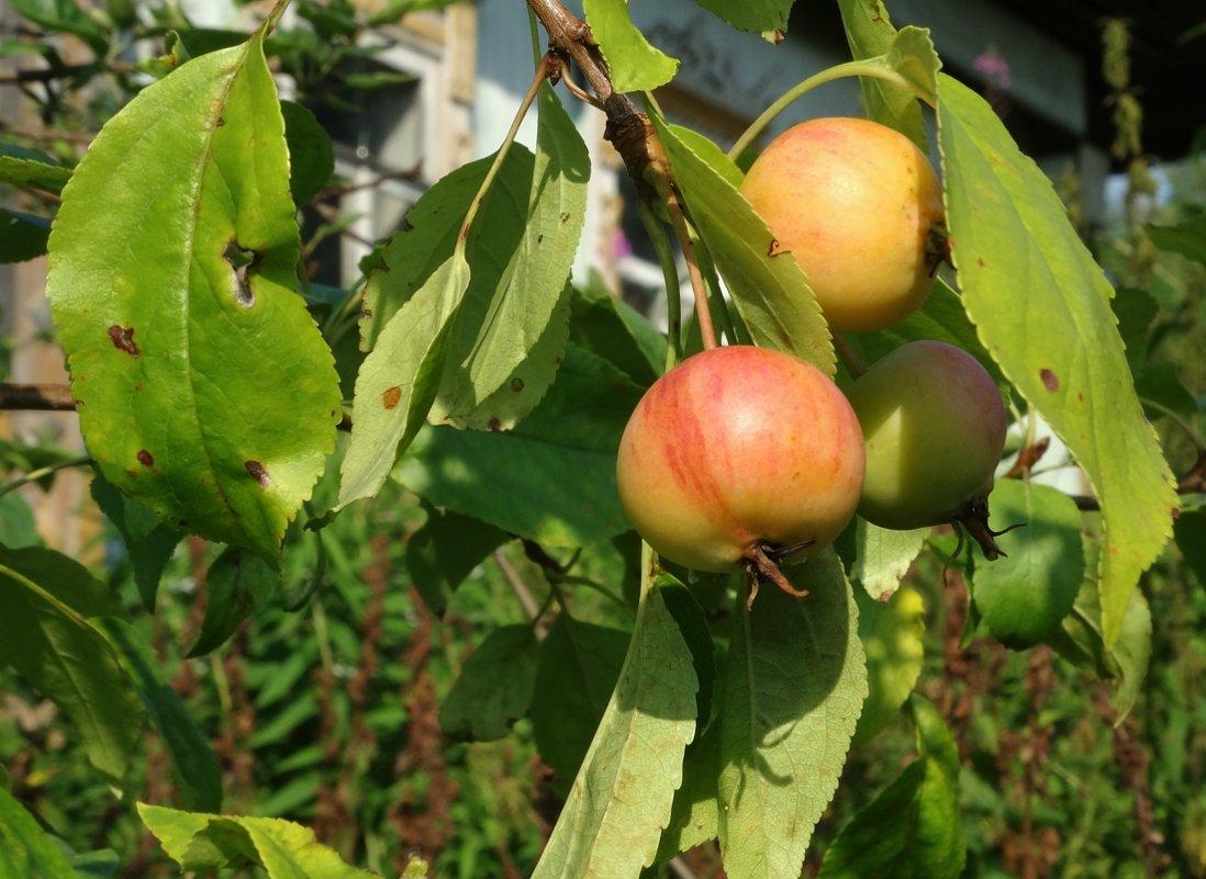 Яблочки у дома - Валерий Чепкасов
