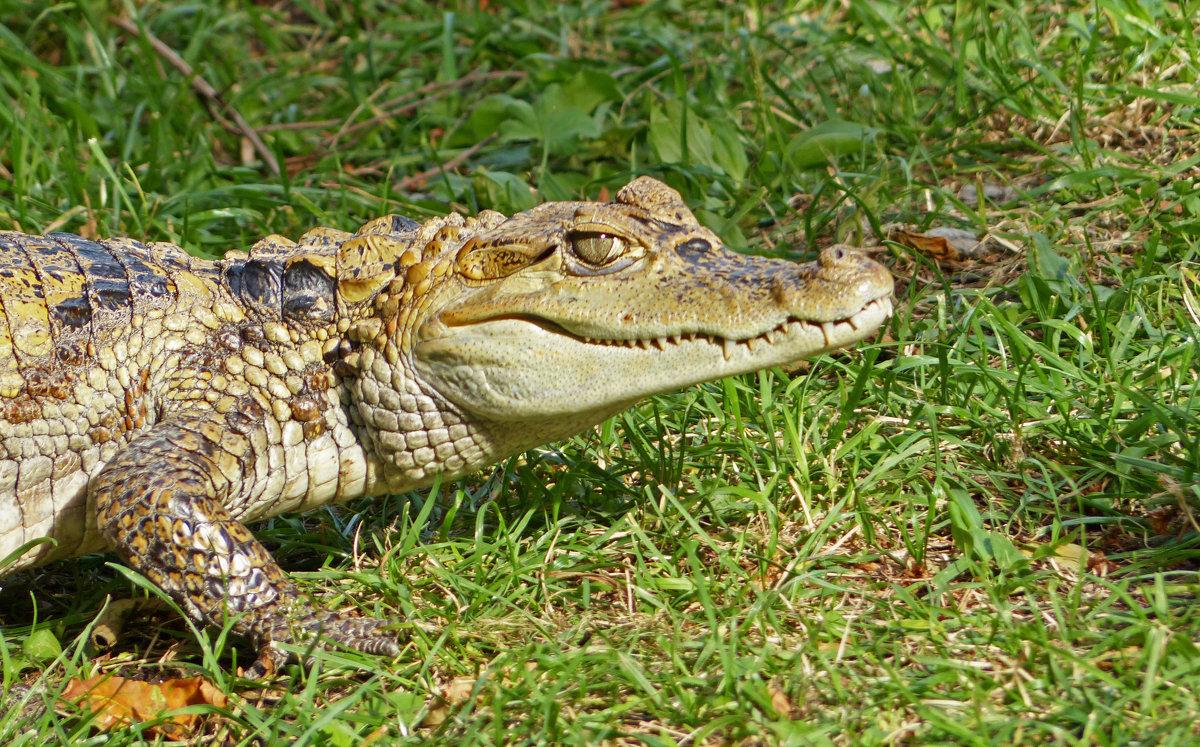 По скверику ходила такая крокодила -:)) - Александр Запылёнов