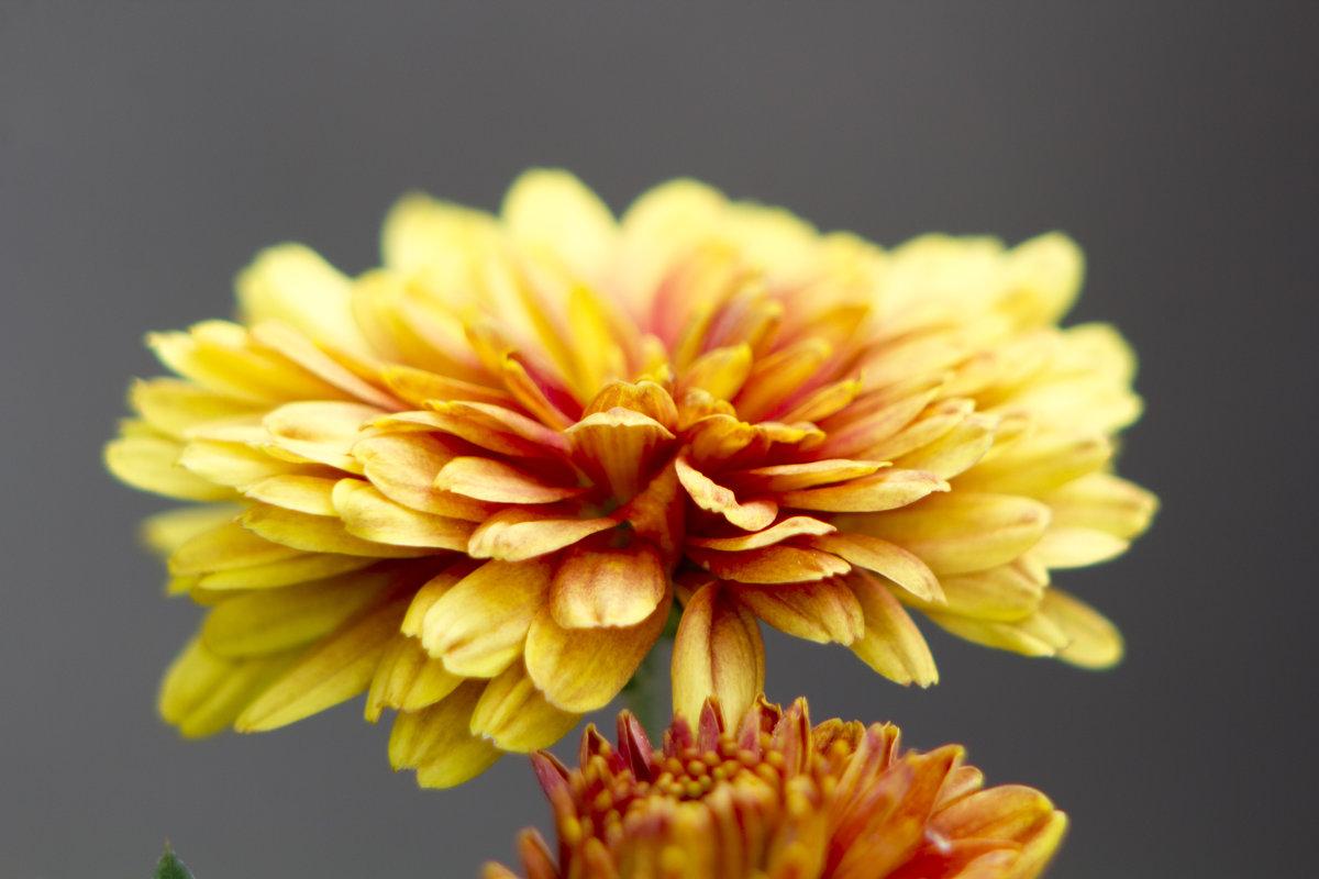 Цветок - Erizo Espinoso