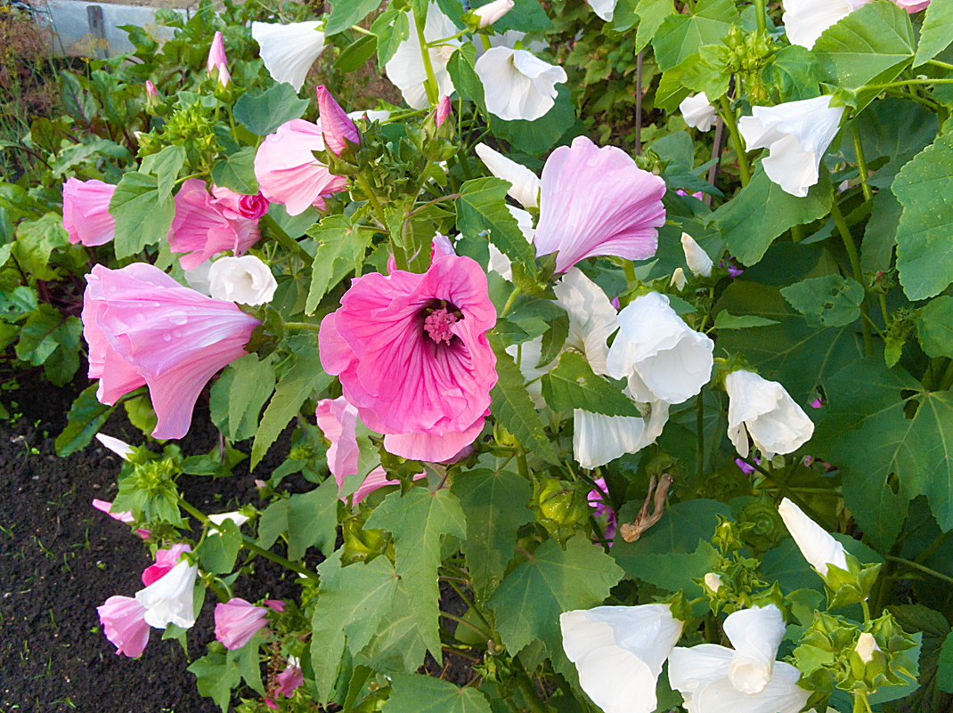 Белые и розовые лаватеры - Анатолий Иргл