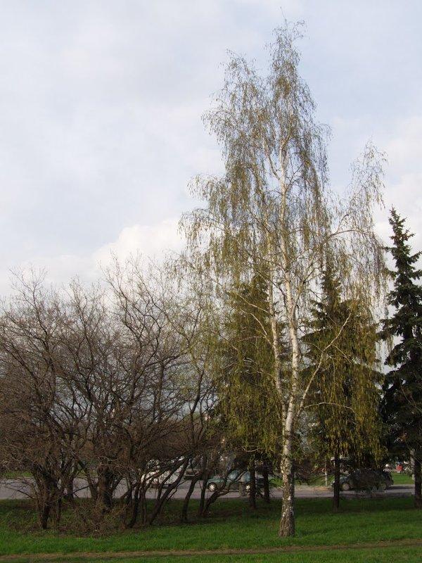 Береза весенняя - Анна Воробьева