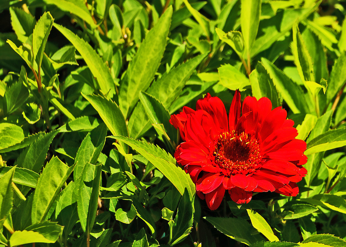 Красный цветок - Светлана