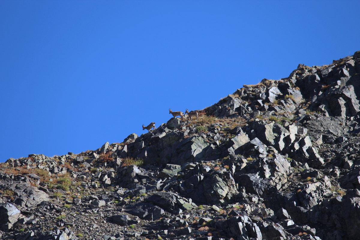 горный козел, заповедник Аксу-Джабагылы, Казахстан ЮКО - Бахытжан