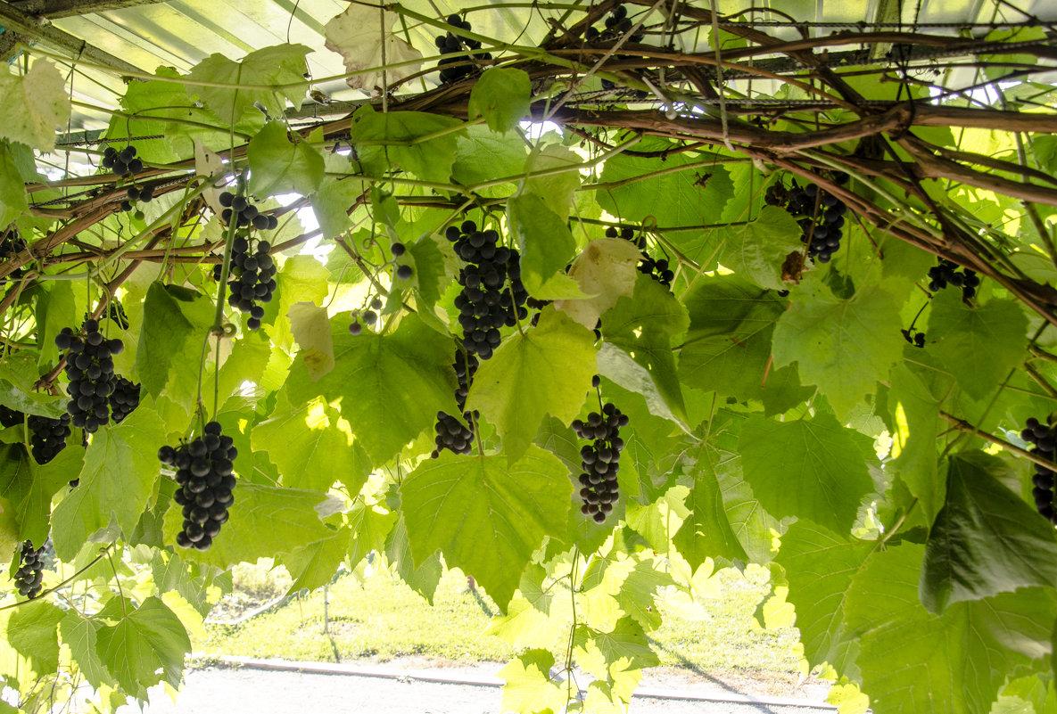 Подмосковный виноград - Константин Сафронов