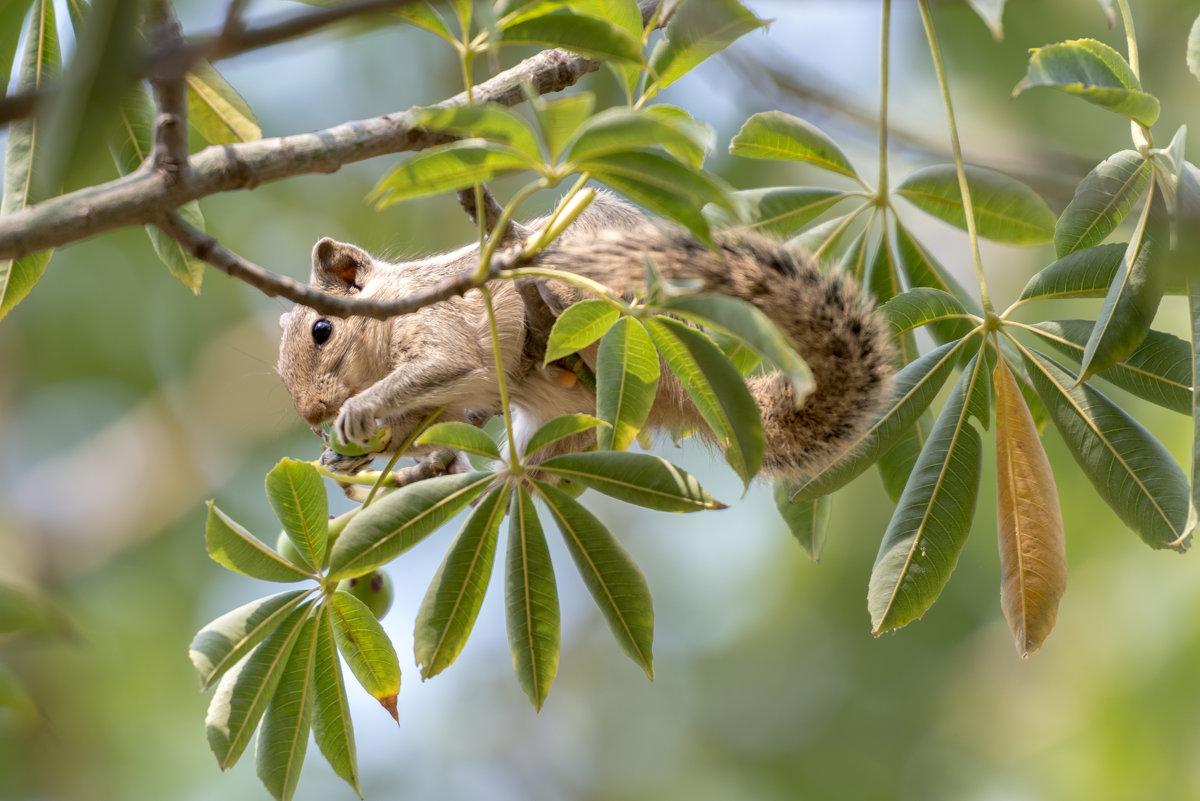 Пальмовая белка - Oleg