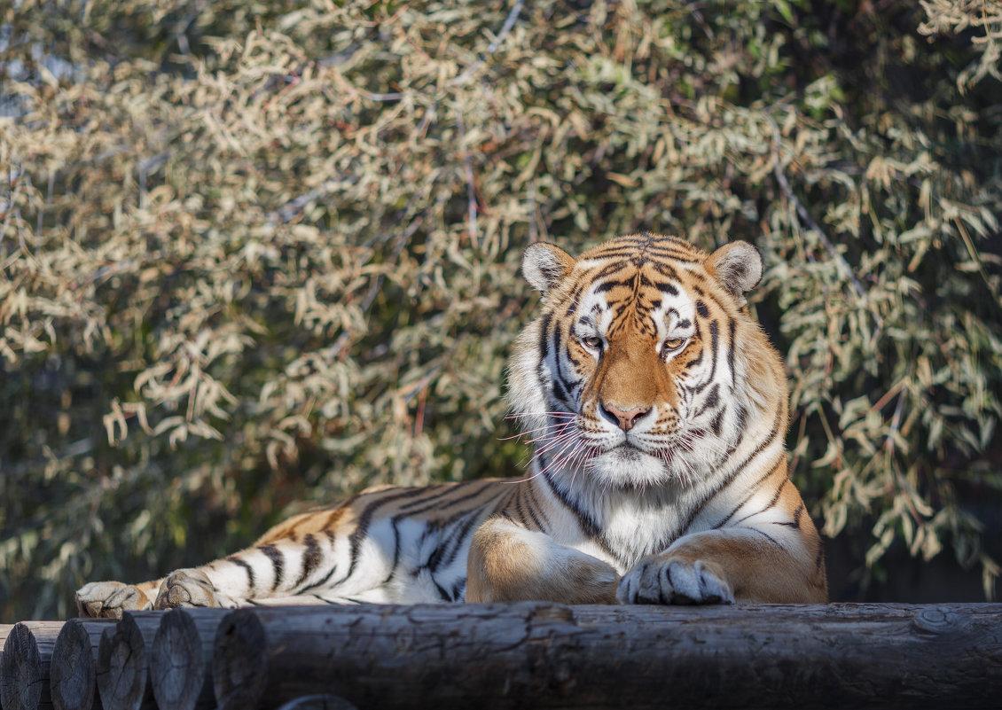 Амурский тигр - олег