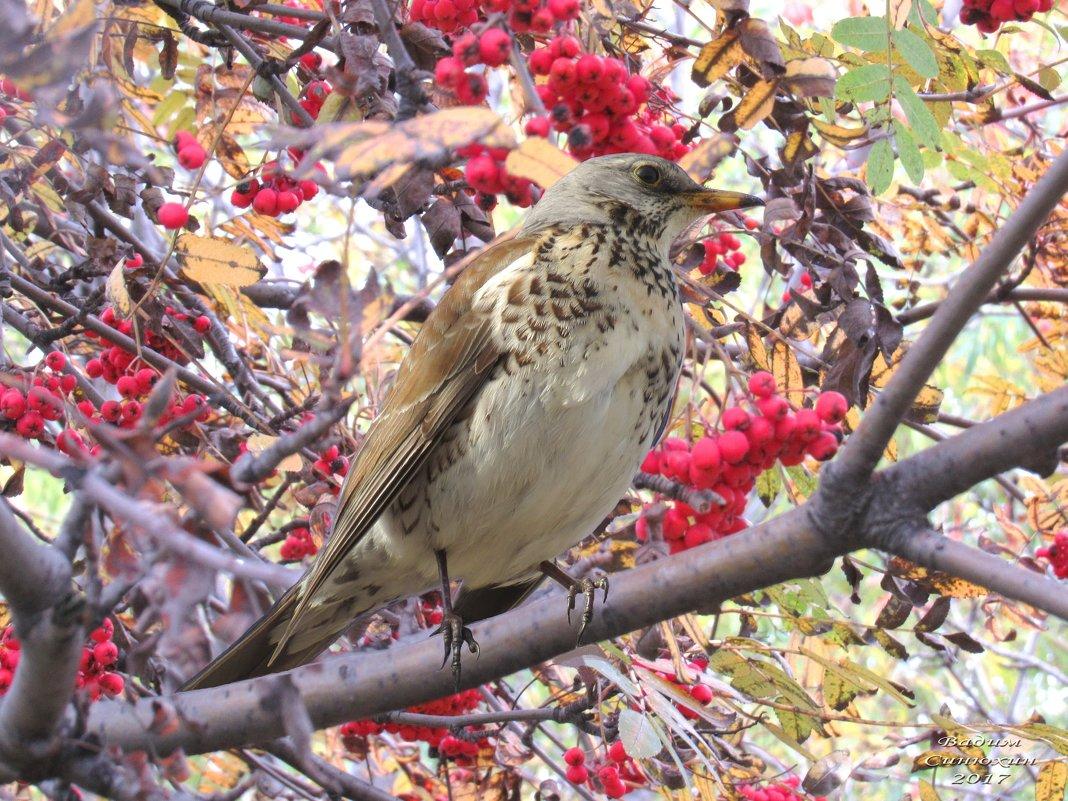 Хороший урожай рябины в этом году - отличное подспорье для птиц на зиму. - Вадим Синюхин